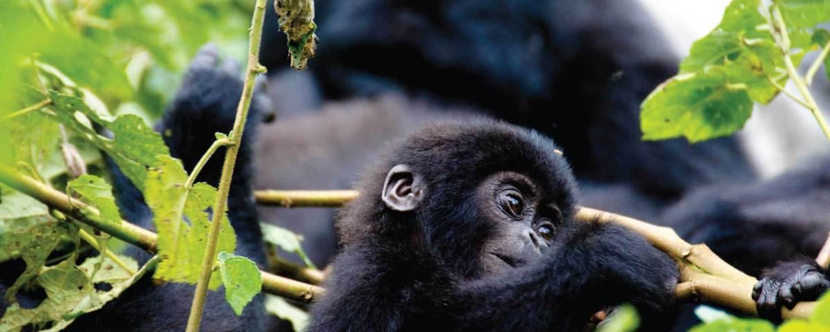 Gorilla habituation experience at Four Gorillas Lodge.